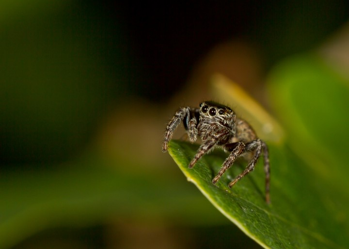 Evarcha falcata female Copyright: Evan Jones