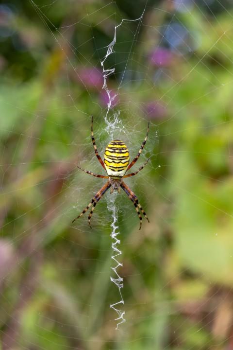 Wasp Spider Frampton RSPB Copyright: Mitchell Pearce