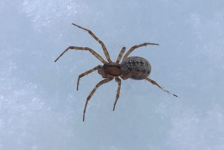 Possible Stemonyphantes lineatus Copyright: Ian Andrews