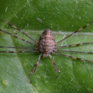 Probable Dicranopalpus ramosus close-up Copyright: Keith Edkins
