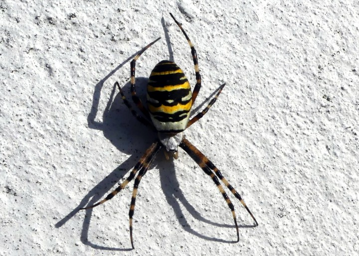 Wasp spuder Copyright: Jean Landymore