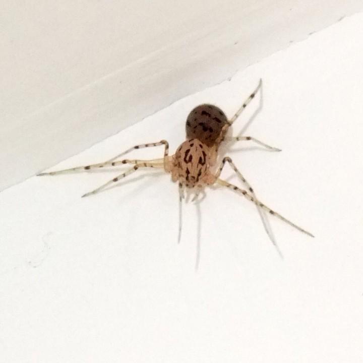 Spitting Spider 4 Copyright: Martin Cooper