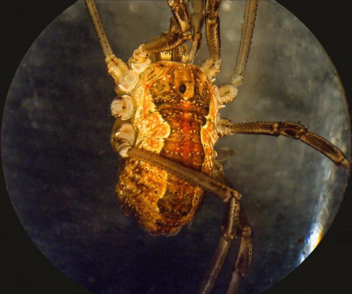 Dorsal view of Mitopus morio Copyright: Peter Coxhead