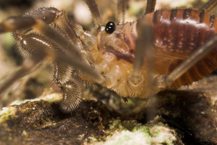 Sabacon viscayanum ramblaianum Female Copyright: Paul Richards