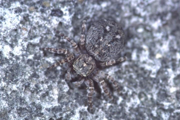 Sitticus pubescens female Copyright: Peter Harvey