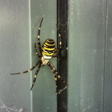 Wasp Spider Ashford Kent Copyright: Sam Hay