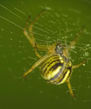 Yellow-striped spider Copyright: Martin Cooper