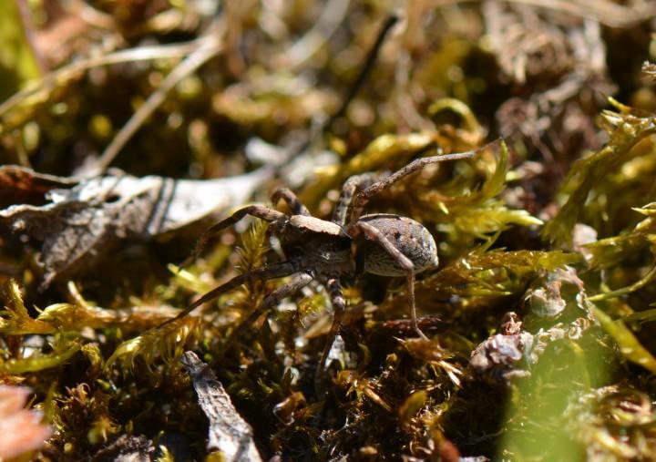 Xerolycosa nemoralis female Copyright: David Carr