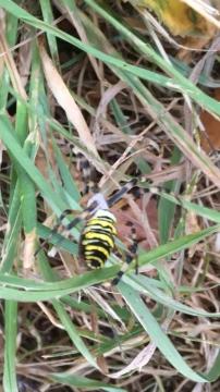 Wasp Spider Wootton Bridge IW Copyright: Bridget Grant