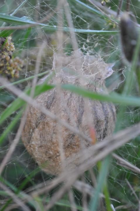 Argiope bruennichi eggsac Copyright: Brian Laney