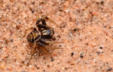 Xysticus cristatus male 2 Copyright: Tone Killick