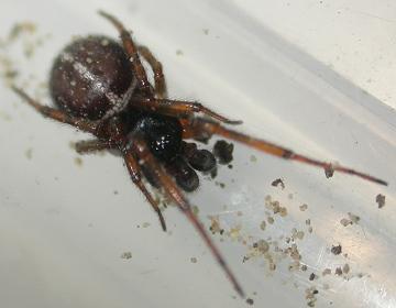 Steatoda bipunctata (Male) Copyright: Nik Nimbus