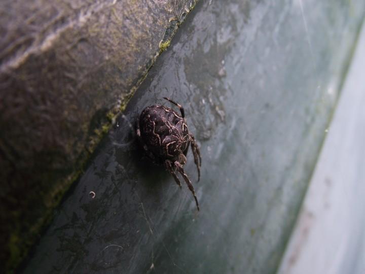 Larinioides Sclopetarius for ID - 1 Copyright: Ian Maclachlan