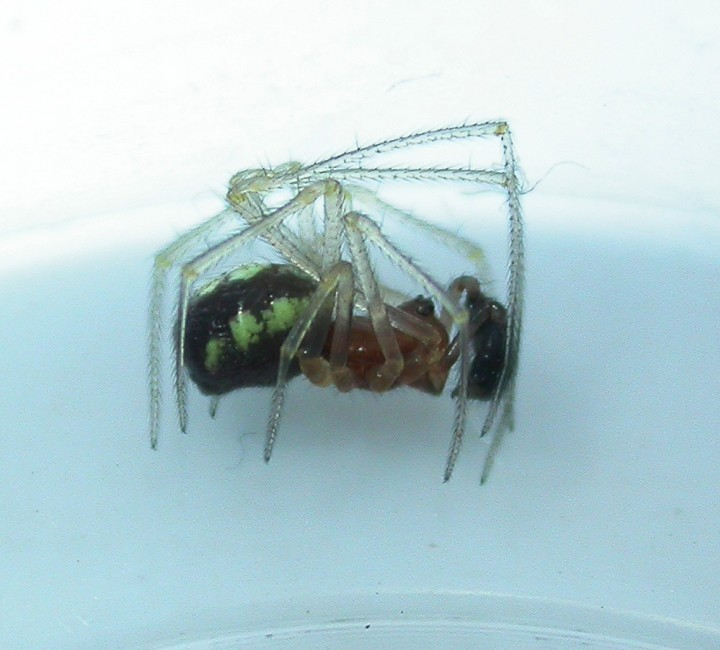 Adult male Neottiura bimaculata Copyright: Nik Nimbus