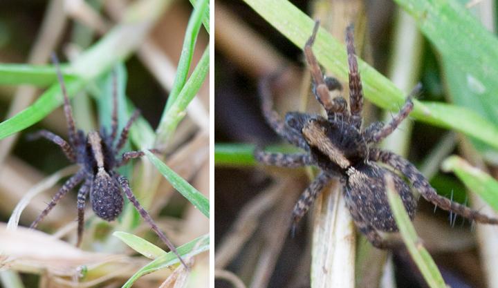 Hunting Spider ID 1 Copyright: Rob Mills