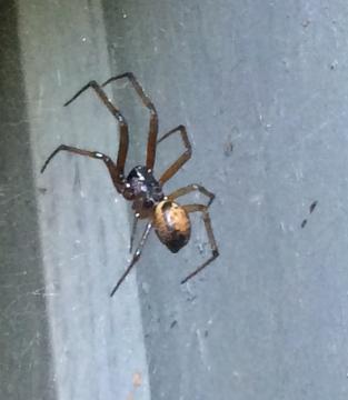 False Widow Spider in Man Cave Copyright: Nick Chilcott