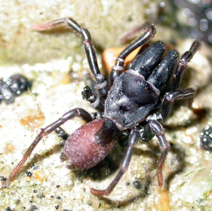 Atypus affinis (Male) Copyright: Nik Nimbus
