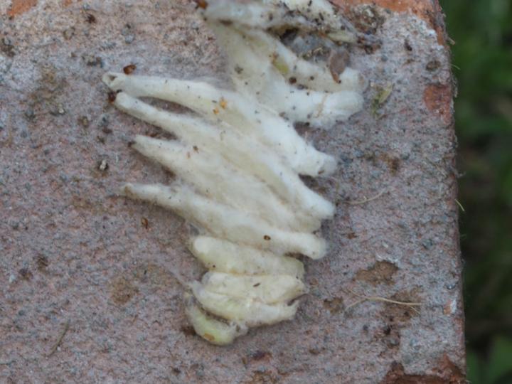 Closeup of possible spider egg case Copyright: David Atkin