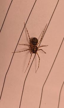 Spitting Spider - Scytodes thoracica - Cottage loft 07052021 Copyright: Leigh-Ann Jones