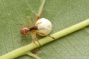 Anelosimus vittatus with egg sac Copyright: Tone Killick