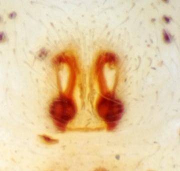 Philodromus albidus epigyne Copyright: AJ Cann