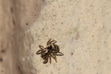 Jumping Spider Salticus scenicus Copyright: Andrew Tompkinson