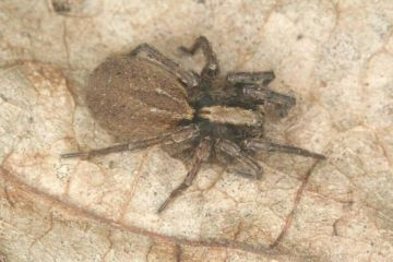 Alopecosa pulverulenta female Copyright: Peter Harvey
