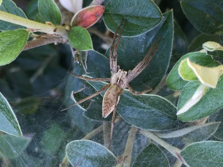 English Nursery Spider Copyright: Chris Banks