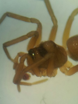 Oedothorax gibbosus form gibbosus Copyright: Matt Prince