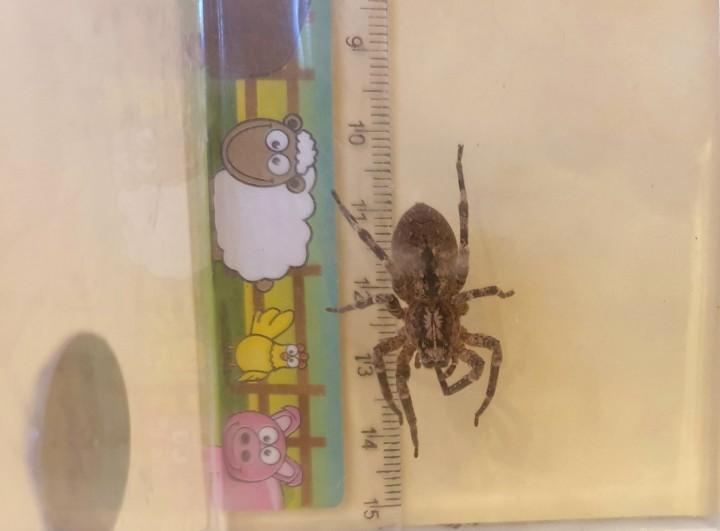 Large indoor spider Copyright: Vincent Hoffman-Kazlauskas