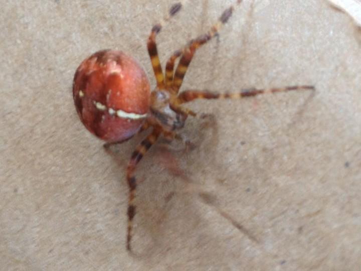 Araneus diadematus  variation Halsall 1 Copyright: Paula Wynne