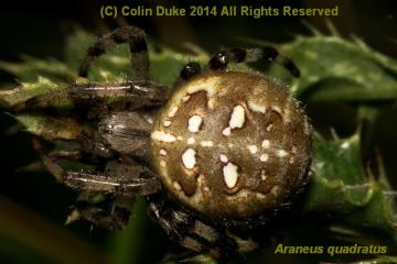 Araneus quadratus Dorsal Copyright: C Duke