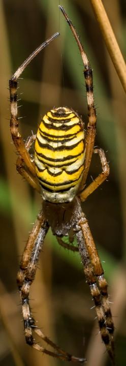 Wasp Spider Suffolk Copyright: Gary Mowles