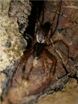 Neriene montana Female Copyright: Nik Nimbus