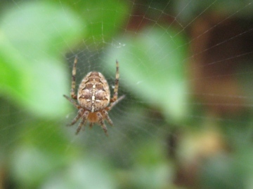 Garden  or Cross spider Copyright: Joy Ellingford
