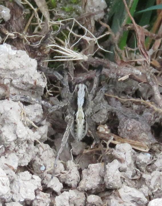 Alopecosa barbipes (male) Copyright: Andy Horton