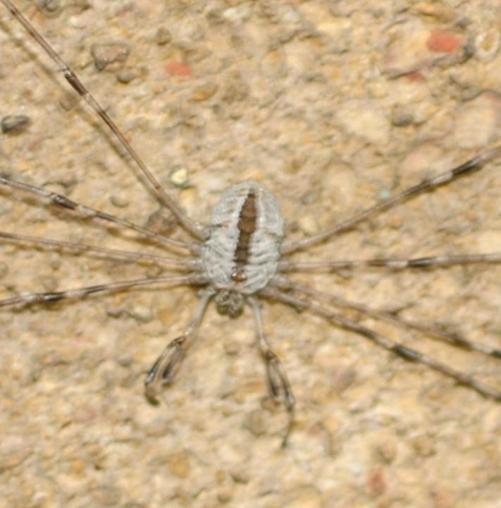 Dicranopalpus ramosus 31.viii.2006 Copyright: Ian Thirlwell