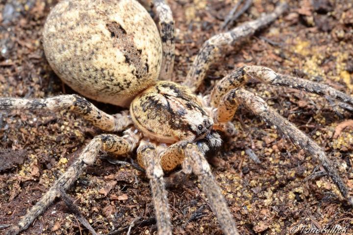 Z.spinimana. Large female. Copyright: Tone Killick