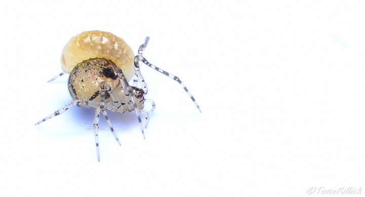 P.tincta with wasp larva Copyright: Tone Killick