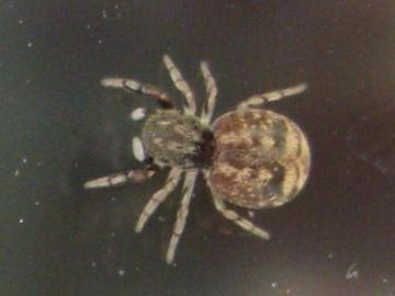 Jumping Spider Ballus chalybeius 20140609 Copyright: Graeme Stroud
