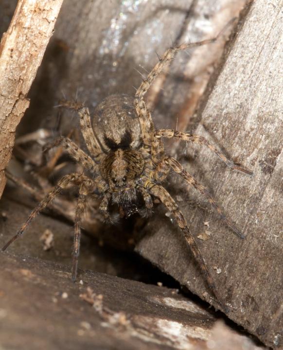 Wolf Spider Pardosa amentata Copyright: Steven Murray