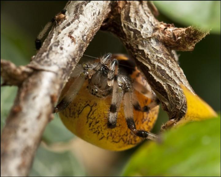 Araneus marmoreus var. pyramidatus  Oct 09 Copyright: Trevor Willis
