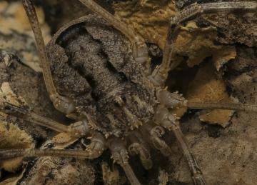 Odiellus spinosus male Copyright: Nik Nimbus