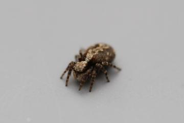 Salticidae6589 Copyright: Matt Chitty