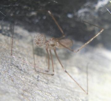 Daddy long-legs spider carrying egg sac 06.09.18 Copyright: Daniel Blyton