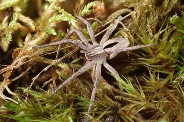 Thanatus formicinus female Copyright: Richard Gallon