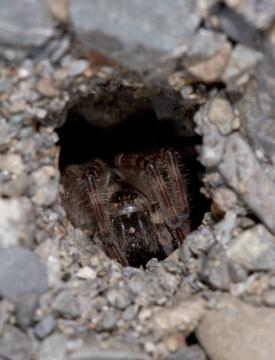 Arctosa cinerea adult female in burrow Copyright: Evan Jones