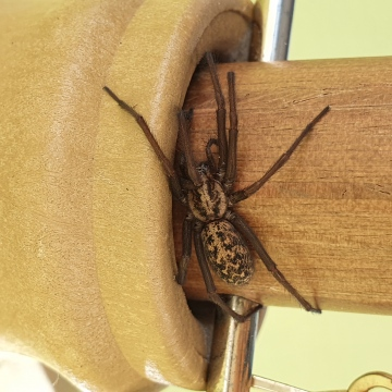 Parasol spider! Copyright: Carmen Nevin