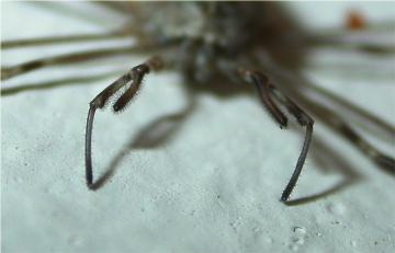 Dicranopalpus ramosus pedipalps Copyright: Nik Nimbus