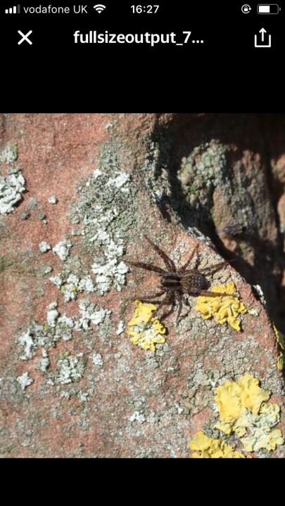 pardosa spider Copyright: David Callender
